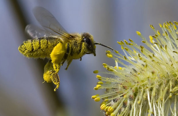 Труженица летом собирает нектар