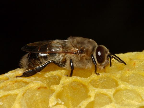 Сколько живет пчела: интересные факты и особенности