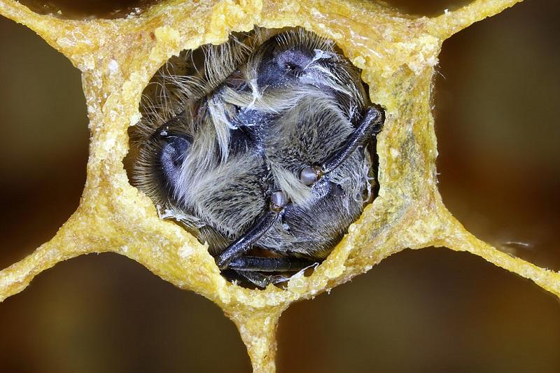 Выход пчелиной матки из ячейки