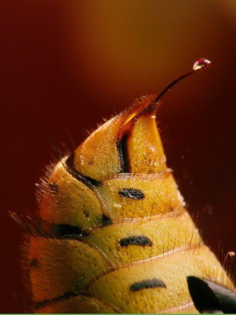 Яд на кончике пчелиного жала