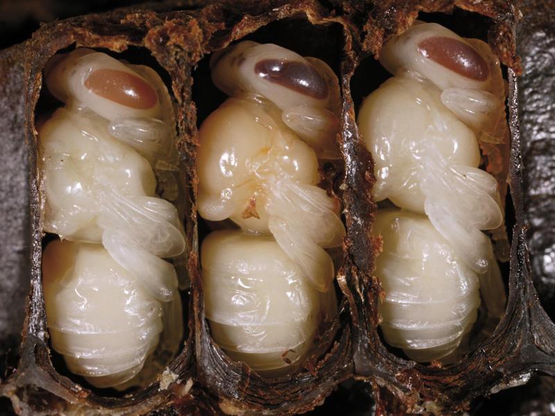 Личинки пчёл в ячейках