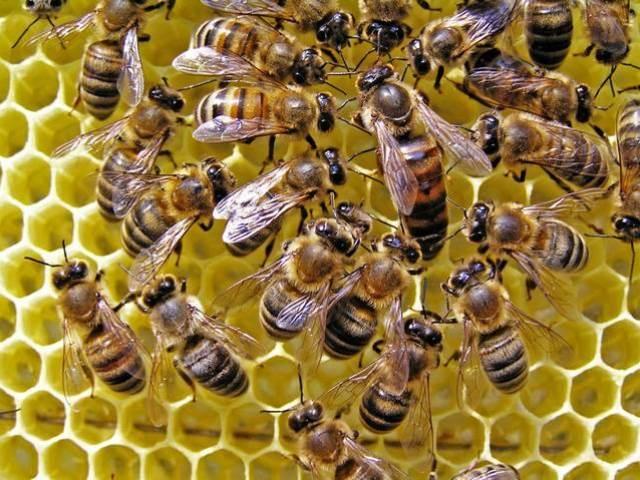 Матка среди пчел