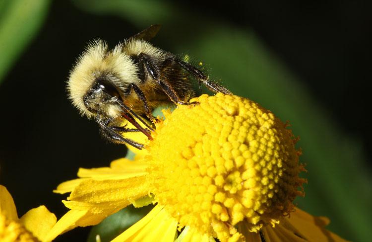 Труженица на желтом цветке