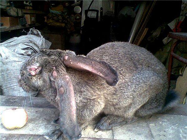 Кроль больной миксоматозом