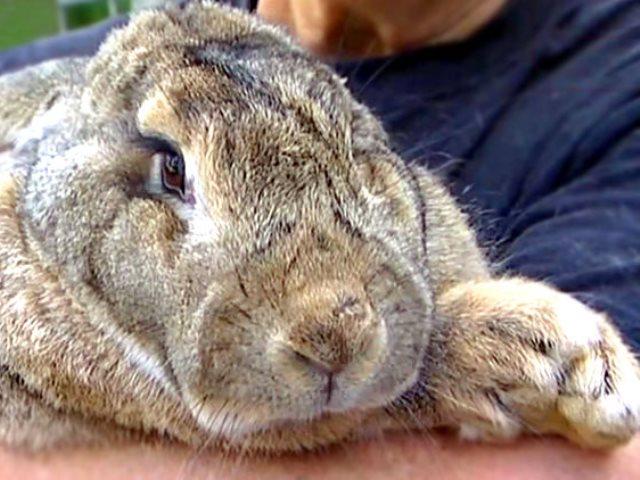 Самый большой и самый маленький кролик в мире: фото и видео обзор