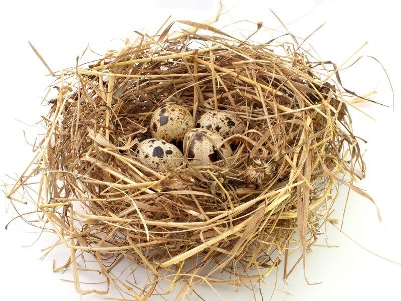 Перепелиные яйца в гнезде