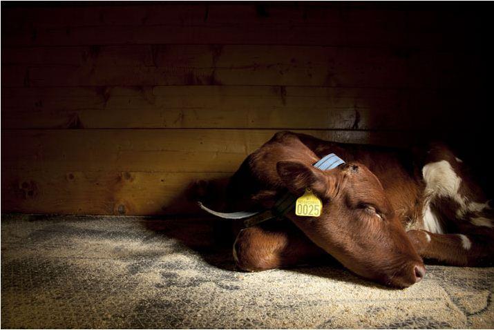 Корова лежит на полу