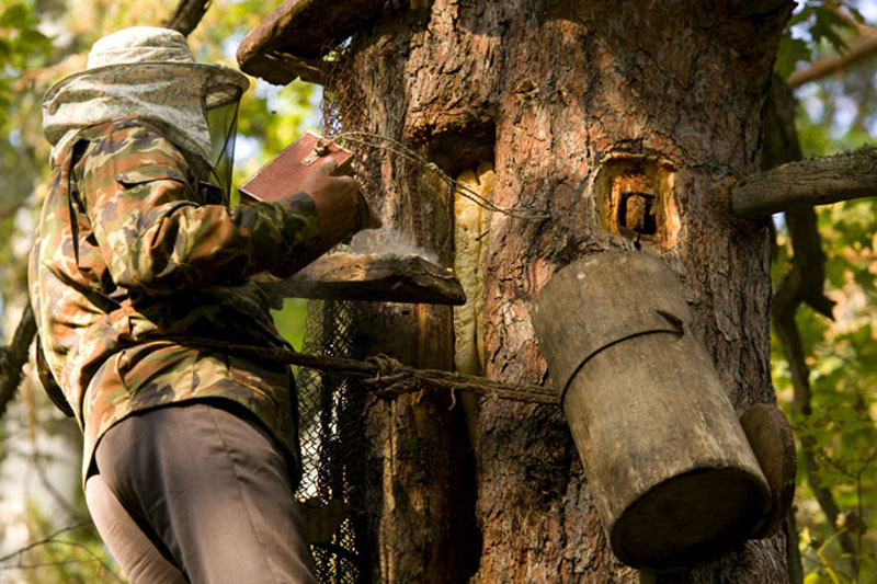 Добыча бортевого мёда на дереве