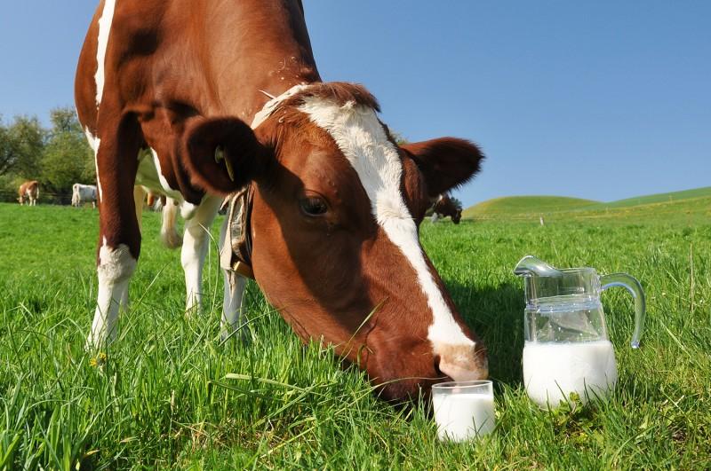 Корова нюхает молоко в стакане