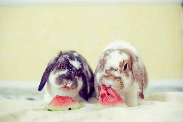 Два кролика едят арбуз