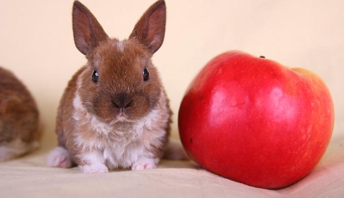 Карликовый кролик Рекс с яблоком