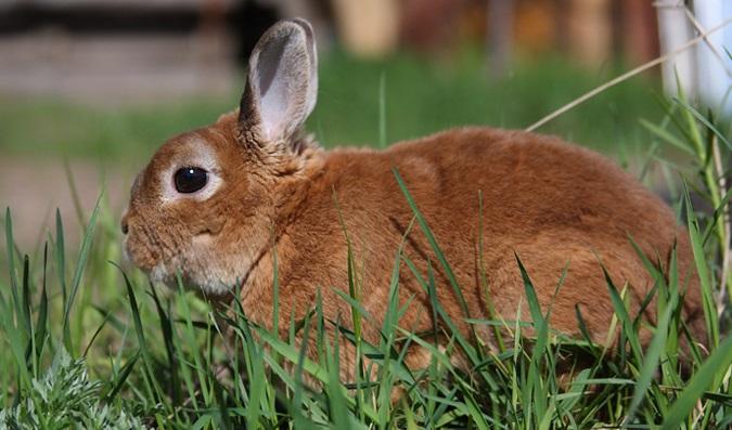Карликовый кролик Рекс в травке