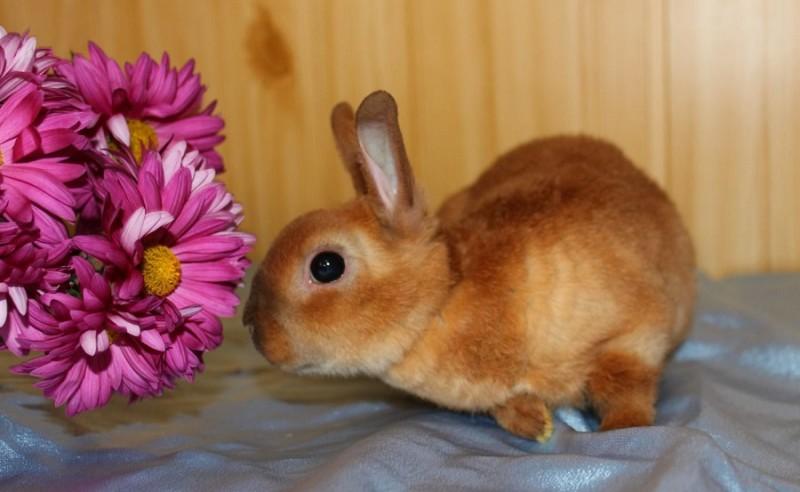 Карликовый Рекс нюхает цветочки
