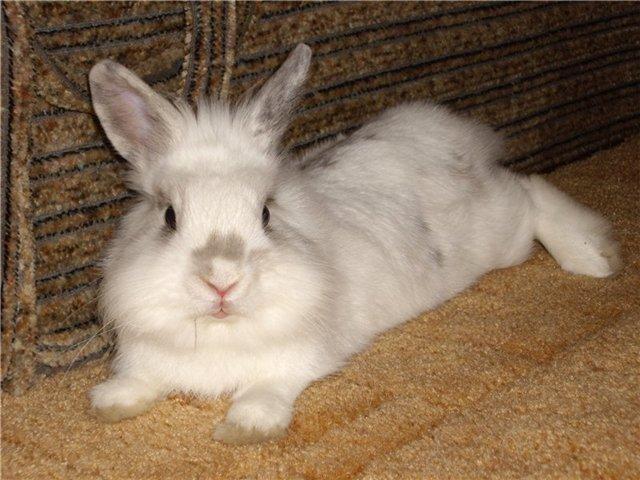 Белый львиноголовый кролик лежит на полу