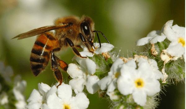 Африканизированная пчела на цветке