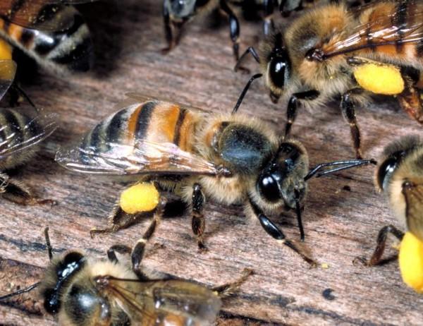 Африканские медоносные пчелы крупным планом