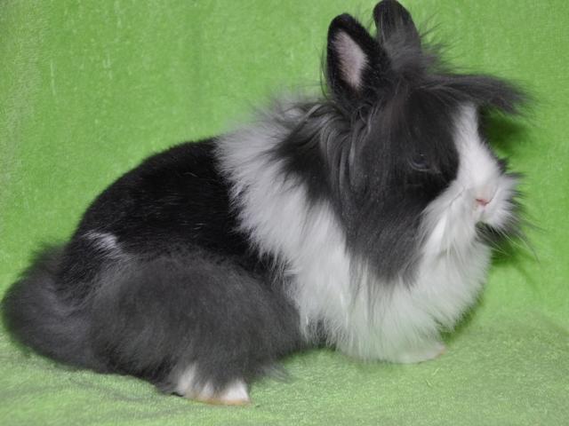Кролик с длинной шерстью на голове и на боках