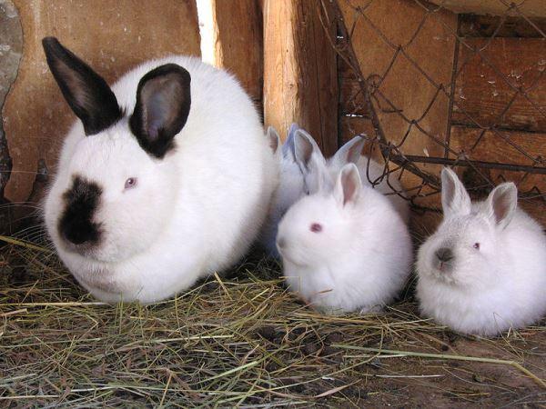 Калифорнийский кролик и крольчата на сене