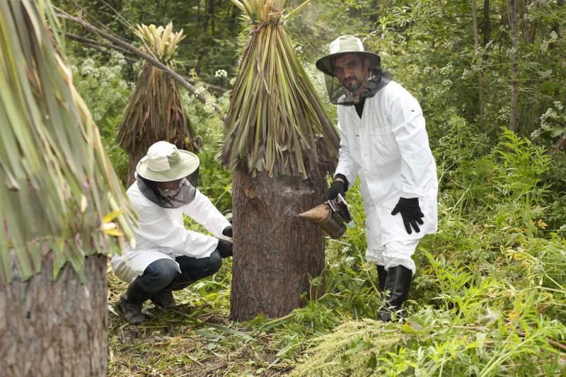 Пасечники изымают мёд из колоды