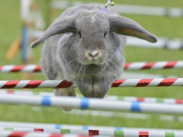 Кролик прыгает через препятствие