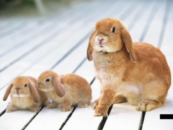 Вислоухая крольчиха с малышами