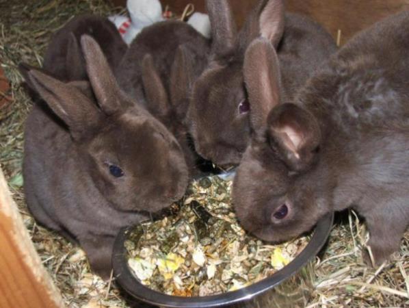 Кролики Рекс едят из кормушки