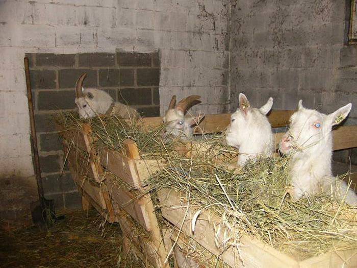ТОП-10 дойных коз: как правильно выбрать и обзор самых молочных пород