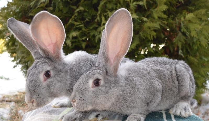 Крольчата породы Ризен