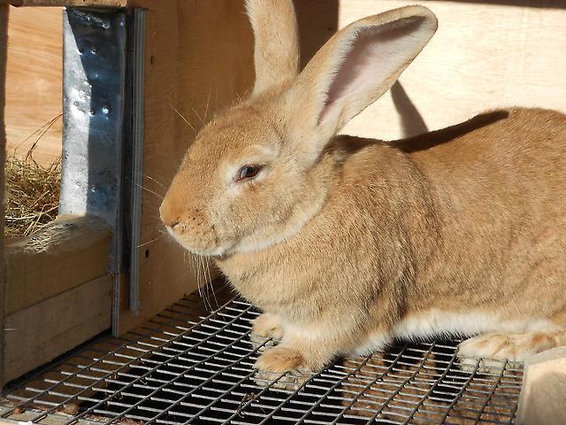 Кролик Ризен в клетке