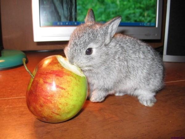 Серый крольчонок грызет яблоко