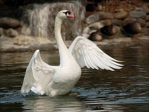 Лебедь расправляет крылья