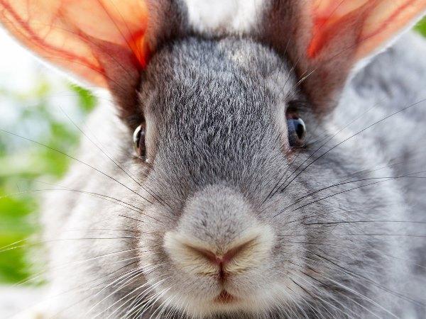 Мордочка кролика с длинными усами