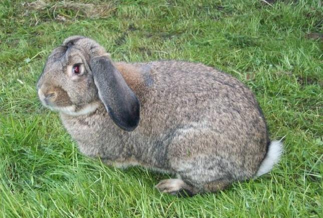 Немецкий кролик Ризен на травке