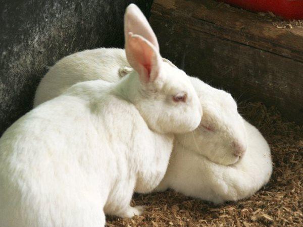 Два кролика породы Новозеландская белая