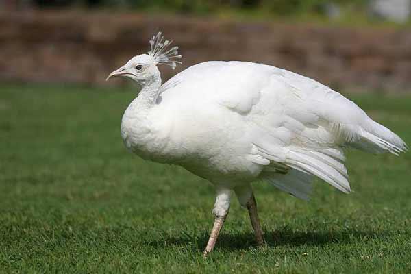 Национальный символ Индии или просто священная птица — павлин Белый