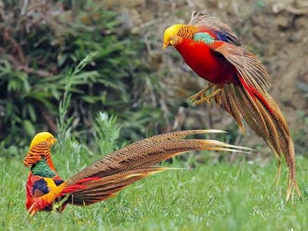 Драка двух золотых фазанов