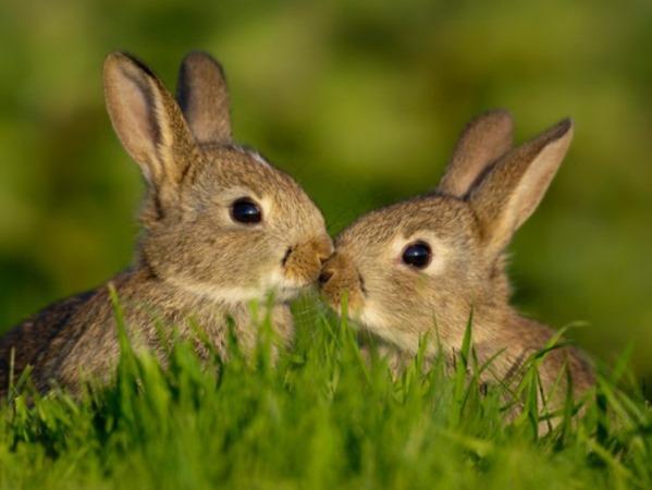 Два кролика целуются в траве