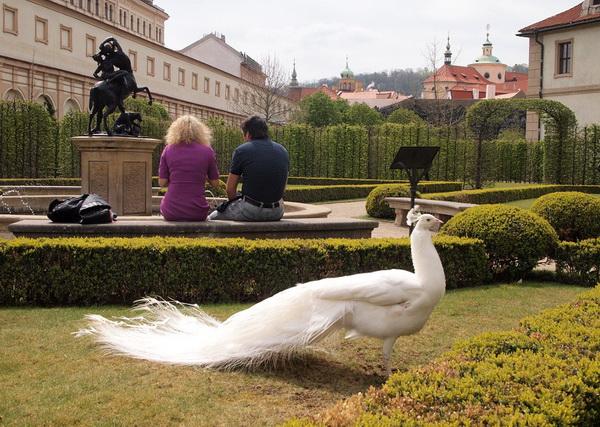 Красивый самец павлина в в Вальдштейнском саду