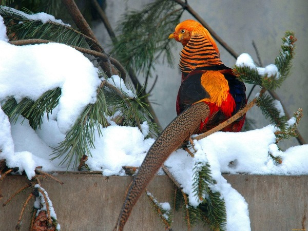 Золотой фазан на заснеженных ветках