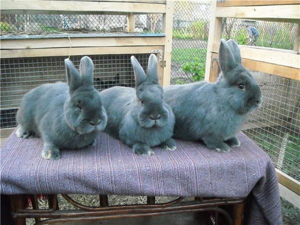 Три голубых кролика на столе