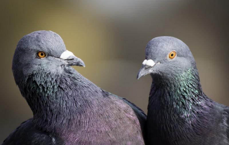 Два Сизых голубя крупным планом
