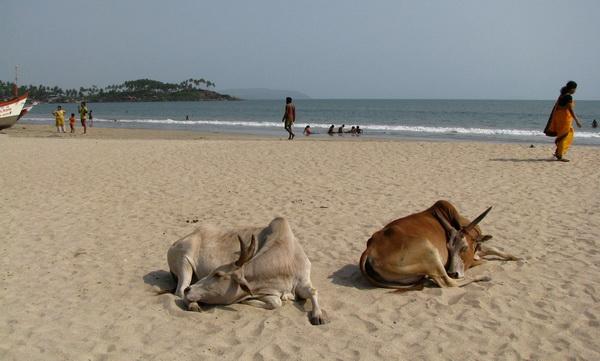 Коровы отдыхают на пляже в Гоа