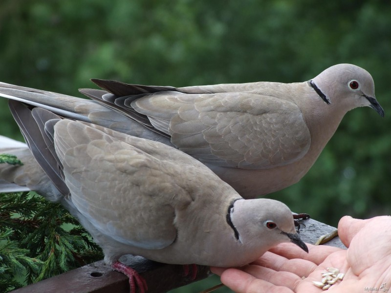 Голуби клюют зерна с руки человека