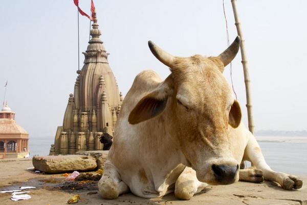 Корова крупным планом на берегу в Гоа