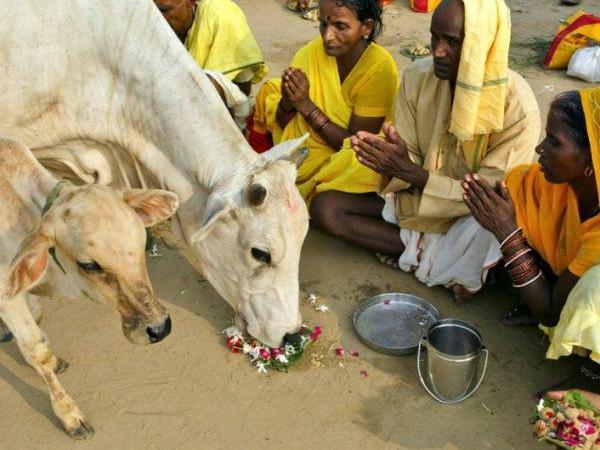 Индуисты поклоняются корове и теленку