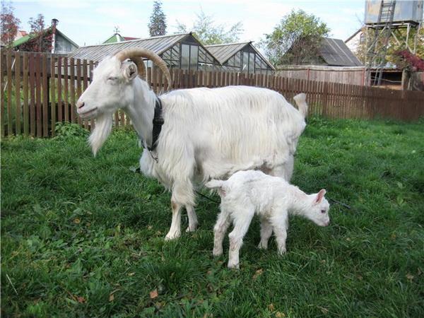 Молочная коза с козленком на подворье