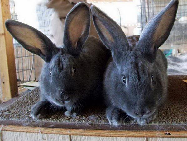 Милые мордашки Венских кроликов
