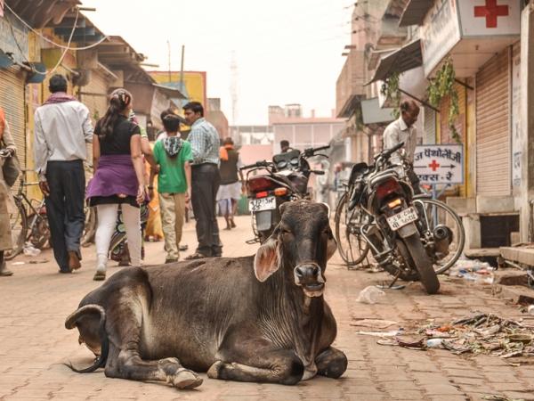 Корова посреди улицы в Индии