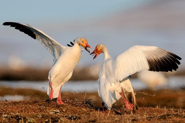 Обзор вида белый гусь, его описание, ареал обитания, фото и видео