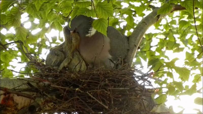 Самка Вяхиря кормит птенцов
